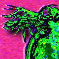 Daphnia_pulex_s.jpg